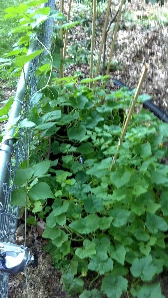 Anybody Grow A Garden - IMG_20130611_175349_978_zps94d5a792.jpg